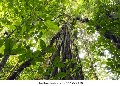Lianas dangling from the rainforest canopy in Yasuni National Park, Ecuador