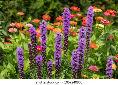 Liatris spicata flowers in the summer garden