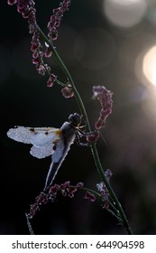 Libelle in dew sits on flower at emerging sun, The Netherlands