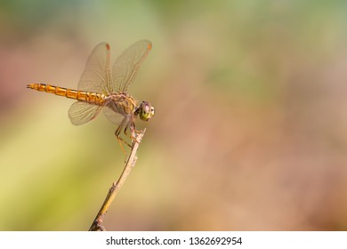 Libellulidae dragonfly perching on a perch with blurred background