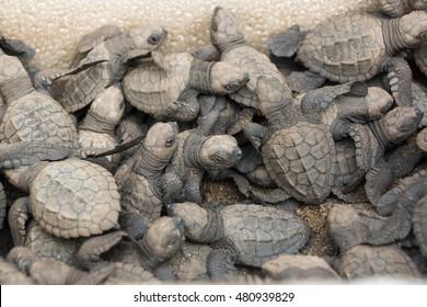 Liberating baby sea turtles hatching camp