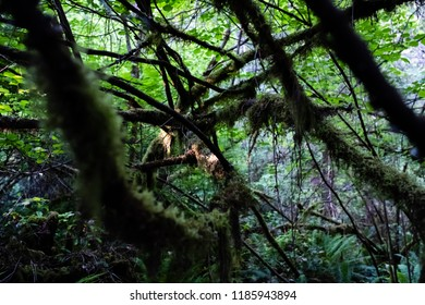 Lichen covered branches in rainforest of Vancouver island