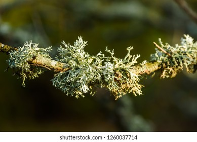 Lichen Evernia prunastri or oakmoss, here on an oak branch.