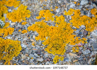 Lichen growing on coastal defences on the Isle of Grain, Kent United Kingdom to defend against a Nazi invasion of Britain