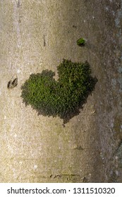 Lichen heart shape on a smooth tree trunk