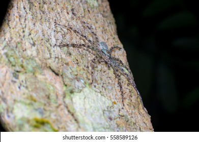 Lichen Huntsman Spider (Pandercetes gracilis) sit and stay still on a tree, hidden and carmourflage with the surface of the tree trunk