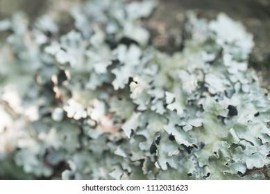 lichen hypogymnia physodes on tree branch macro selective focus