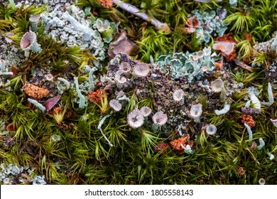 Lichen and moss close-up in woodland area. Detailed view of forest organisms. Poland, Europe. - Shutterstock ID 1805558143