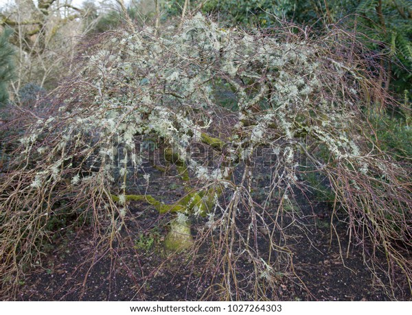 Lichen Moss Growing On Japanese Maple Stock Photo Edit Now 1027264303