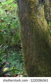 Lichen and Moss on Redwood Branch