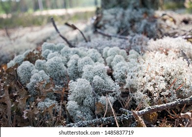 lichen and moss in a pine forest