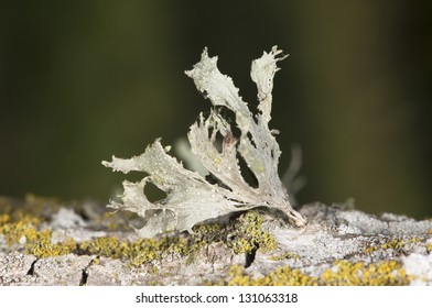 Lichen on bark, Santa Fe, Argentina