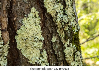 Lichen on the bark of a tree. Lichen grows on birch