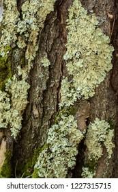 Lichen on the bark of a tree. Lichen grows on birch