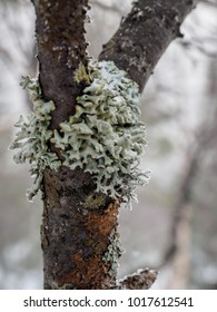 Lichen on a branch. lichen: oakmoss (Evernia prunastri). Tree lichen, hypogymnia physodes.