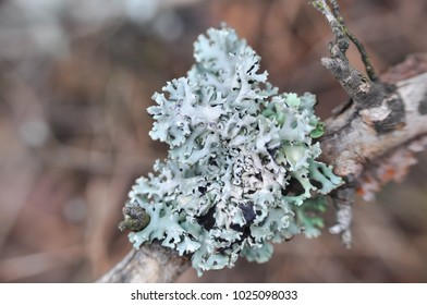 Lichen on tree branch. Lichen grows on rotten wood