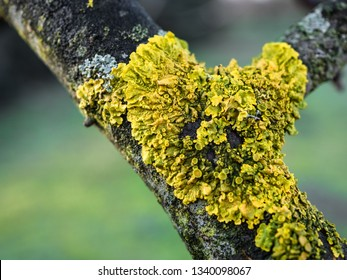 Lichen on tree. Shallow depth of field.