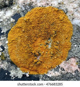 Lichen starburst in orange attached to textured grey rock along the coast of Llanddwyn Island, Anglesey, Wales.