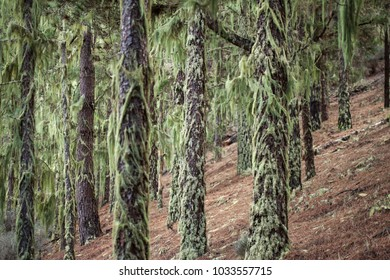 lichen Usnea covering tree trunks background natural  background