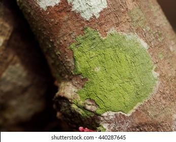 lichen/green lichen texture on tree.