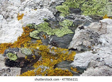 Lichens with bright yellow, orange, and white crustose thalli and black apothecia growing on textured maritime rock along the coast of Llanddwyn Island, Anglesey, Wales.