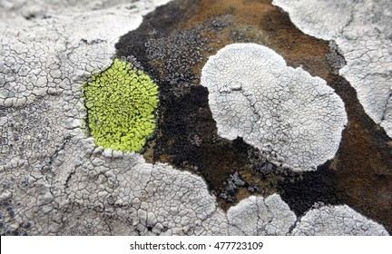 Lichens with bright yellow (Rhizocarpon geographicum) and white crustose thalli growing on textured maritime rock along the coast of Llanddwyn Island, Anglesey, Wales.