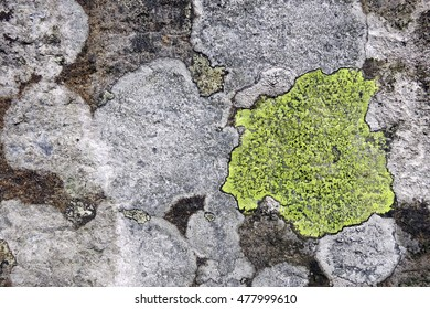 Lichens with bright yellow (Rhizocarpon geographicum) and white crustose thalli growing on textured churchyard gravestone in Hawkshead, England.