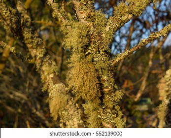Lichens cover and hang on tree trunk