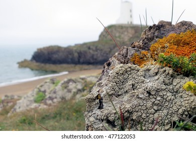 Lichens with crustose white and orange thalli and apothecia in foreground of seaside coastal landscape on Llanddwyn Island, Anglesey, Wales.