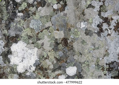 Lichens with muted shades of white, grey, and yellow crustose thalli growing on textured churchyard gravestone in Hawkshead, England.