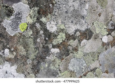 Lichens with muted shades of white, grey, and bright yellow crustose thalli and black apothecia growing on textured churchyard gravestone in Hawkshead, England.
