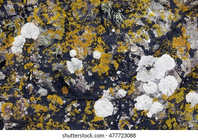 Lichens with orange, black, and white crustose thalli growing on textured maritime rock along the coast of Llanddwyn Island, Anglesey, Wales.