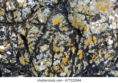 Lichens with orange, white, and black crustose thalli attached to textured grey rock along the coast of Llanddwyn Island, Anglesey, Wales.