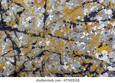 Lichens with orange, white, black, and yellow crustose thalli attached to textured grey rock along the coast of Llanddwyn Island, Anglesey, Wales.