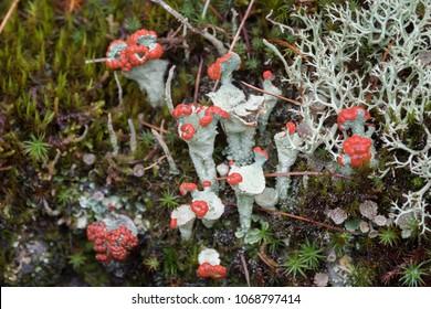 Lichens of Siberia, Russia. Lichen Cladonia coccifera.