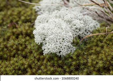 Lichens of Siberia, Russia. Lichen Cladonia rangiferina.