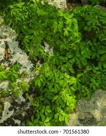 Lichens & Vines on a Boulder