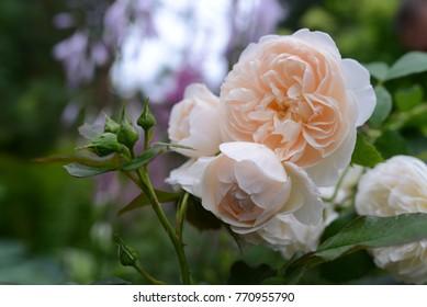 Lichfield Angel Rose