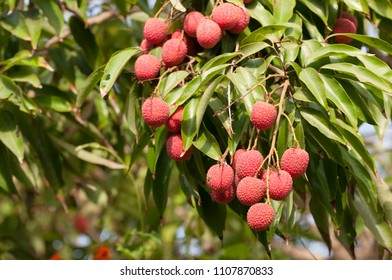 Lichi Fruit on Tree