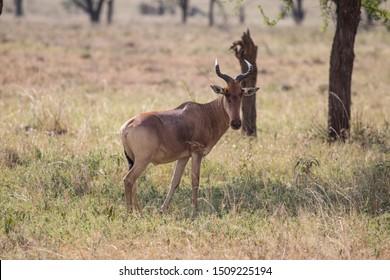 Lichtenstein's Hartebeest standing in the Serengeti National Park