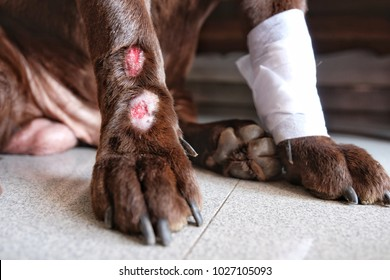 Lick Granuloma on Labrador Retriever's lower portion of one legs. Also known as acral lick dermatitis