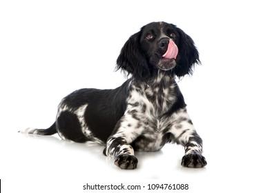 Licking dog isolated on white background