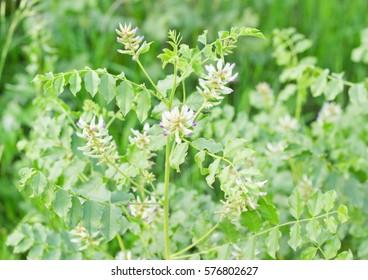 Licorice, Glycyrrhiza glabra