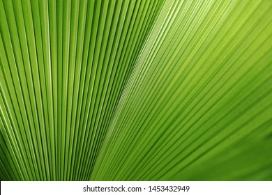 Licuala grandis or Ruffled Fan Palm leaf or Vanuatu fan palm or Palas palm, Large tropical foliage, close up on nature light.
