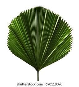 Licuala grandis or Ruffled Fan Palm leaf, Large tropical foliage, Pleated leaf  isolated on white background, with clipping path