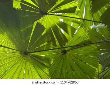 Licuala Rainforest Queensland