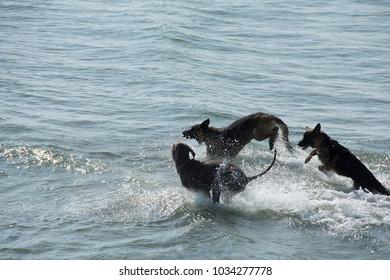 Lido di Camaiore,Tuscany/Italy - september 27 2017: three dogs play in the Versilia sea