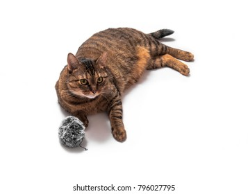Lie brown cat isolated on white background