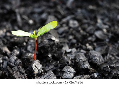 Life after death, green sprout on the coals after the fire. Rebirth of nature after the fire. Rebirth concept