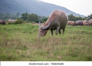 Life of buffalo countryside